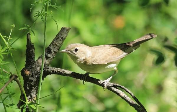Славка-птица-Описание-особенности-виды-образ-жизни-и-среда-обитания-славки-4