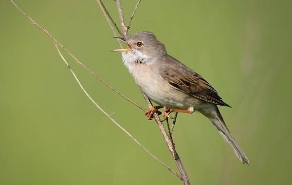 Славка-птица-Описание-особенности-виды-образ-жизни-и-среда-обитания-славки-5