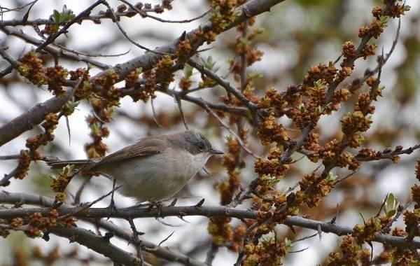 Славка-птица-Описание-особенности-виды-образ-жизни-и-среда-обитания-славки-6