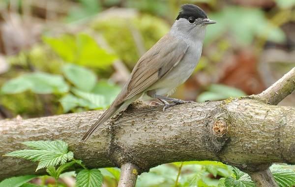 Славка-птица-Описание-особенности-виды-образ-жизни-и-среда-обитания-славки-7
