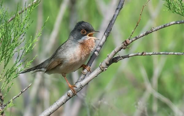 Славка-птица-Описание-особенности-виды-образ-жизни-и-среда-обитания-славки-8