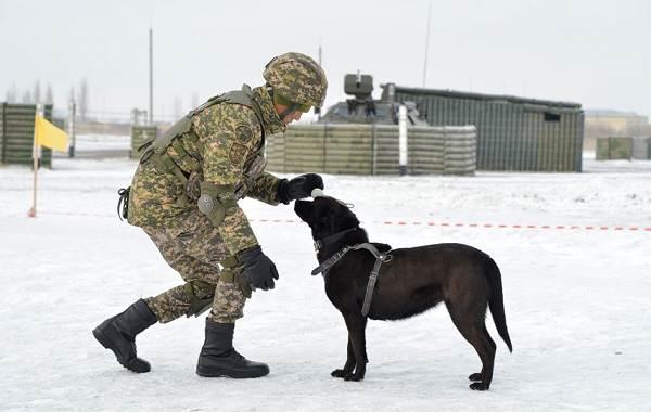 Служебные-собаки-Описание-особенности-дрессировка-и-породы-служебных-собак-10