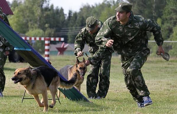 Служебные-собаки-Описание-особенности-дрессировка-и-породы-служебных-собак-11