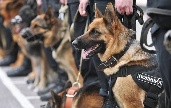 Служебные-собаки-Описание-особенности-дрессировка-и-породы-служебных-собак-13