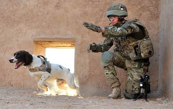 Служебные-собаки-Описание-особенности-дрессировка-и-породы-служебных-собак-16