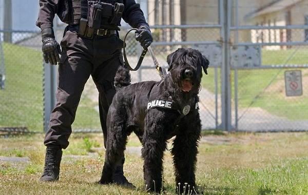 Служебные-собаки-Описание-особенности-дрессировка-и-породы-служебных-собак-20