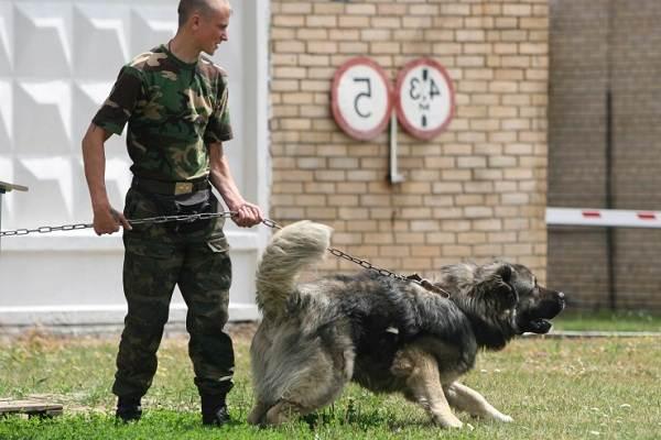 Служебные-собаки-Описание-особенности-дрессировка-и-породы-служебных-собак-21
