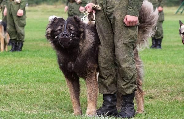 Служебные-собаки-Описание-особенности-дрессировка-и-породы-служебных-собак-22