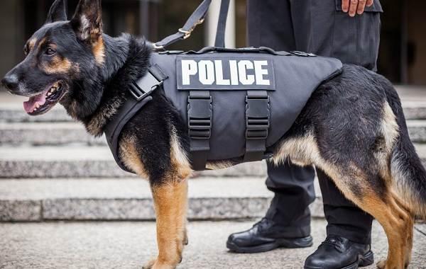 Служебные-собаки-Описание-особенности-дрессировка-и-породы-служебных-собак-4