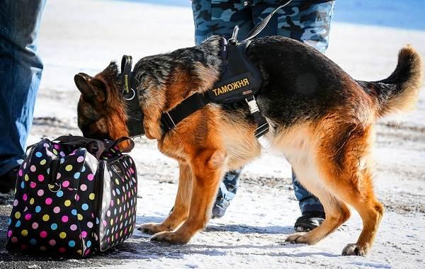 Служебные-собаки-Описание-особенности-дрессировка-и-породы-служебных-собак-5
