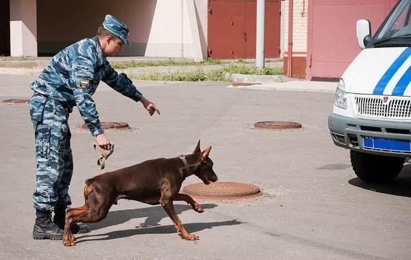 Служебные-собаки-Описание-особенности-дрессировка-и-породы-служебных-собак-7