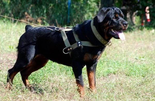 Служебные-собаки-Описание-особенности-дрессировка-и-породы-служебных-собак-8