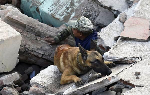 Собака-спасатель-История-особенности-породы-и-дрессировка-собак-спасателей-11
