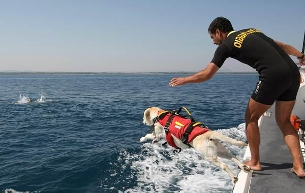 Собака-спасатель-История-особенности-породы-и-дрессировка-собак-спасателей-13