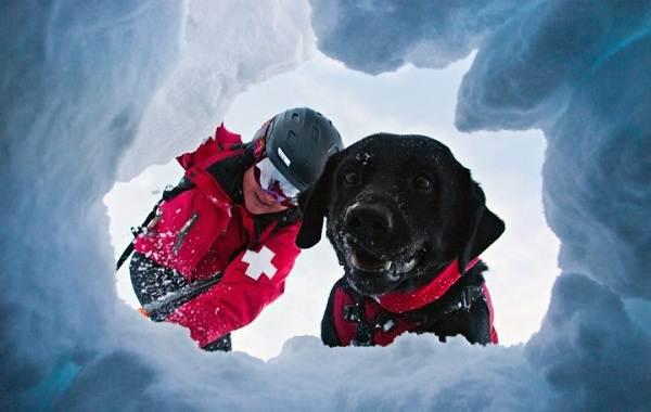 Собака-спасатель-История-особенности-породы-и-дрессировка-собак-спасателей-14