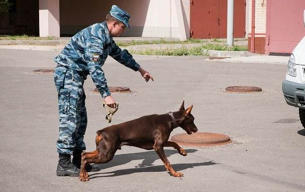 Собака-спасатель-История-особенности-породы-и-дрессировка-собак-спасателей-15
