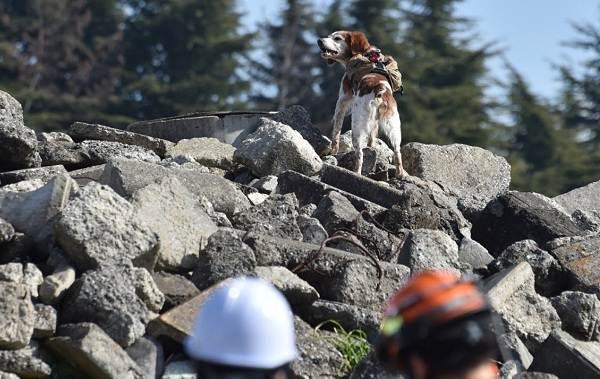 Собака-спасатель-История-особенности-породы-и-дрессировка-собак-спасателей-19