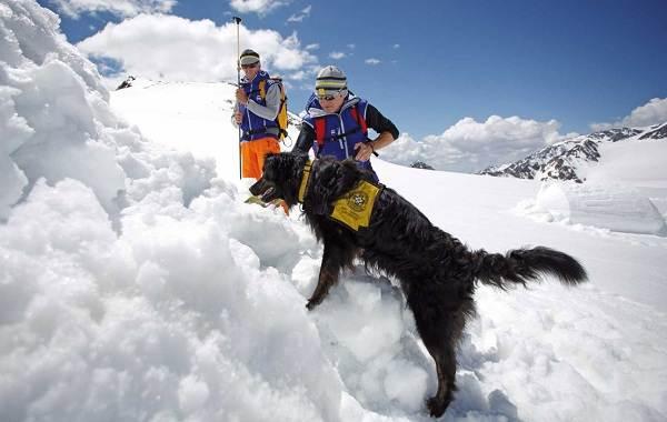 Собака-спасатель-История-особенности-породы-и-дрессировка-собак-спасателей-2