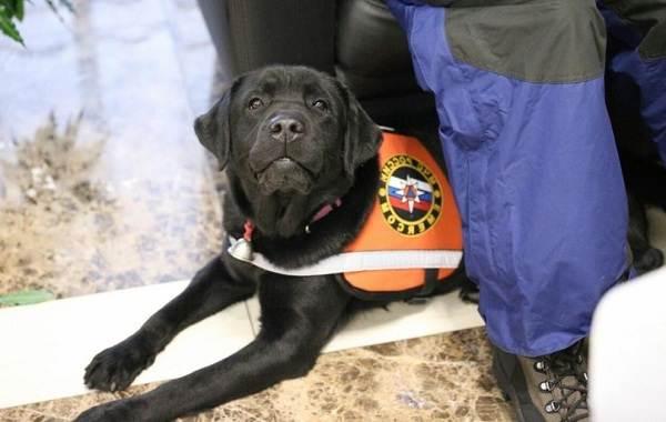 Собака-спасатель-История-особенности-породы-и-дрессировка-собак-спасателей-20