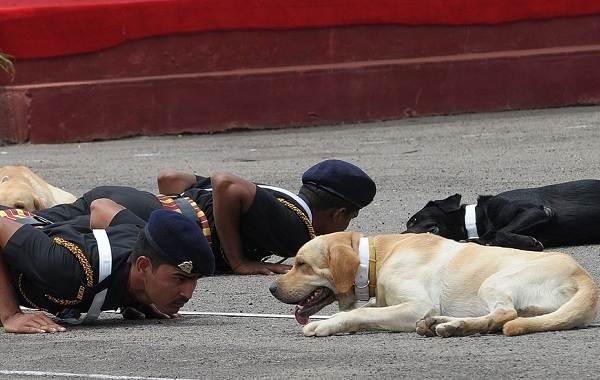 Собака-спасатель-История-особенности-породы-и-дрессировка-собак-спасателей-21