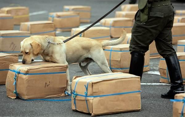 Собака-спасатель-История-особенности-породы-и-дрессировка-собак-спасателей-22
