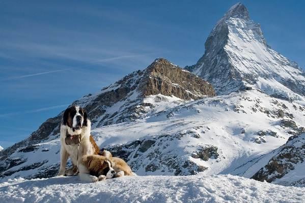 Собака-спасатель-История-особенности-породы-и-дрессировка-собак-спасателей-4