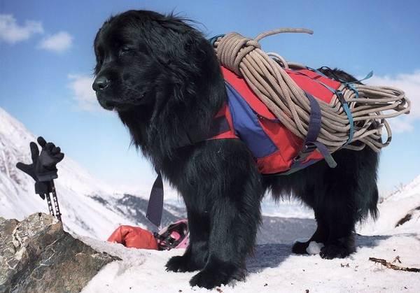 Собака-спасатель-История-особенности-породы-и-дрессировка-собак-спасателей-6