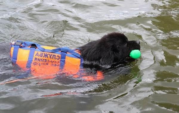 Собака-спасатель-История-особенности-породы-и-дрессировка-собак-спасателей-7