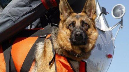 Собака спасатель. История, особенности, породы и дрессировка собак спасателей