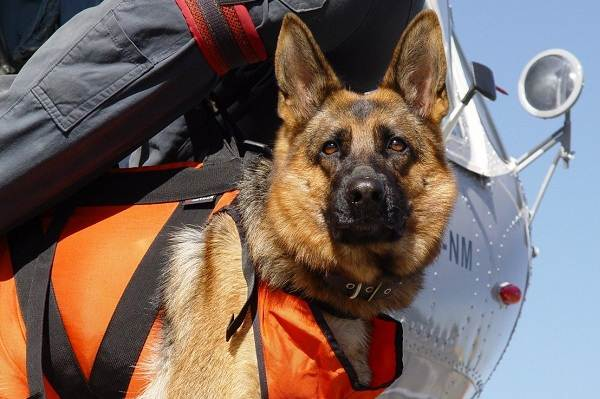 Собака-спасатель-История-особенности-породы-и-дрессировка-собак-спасателей-8