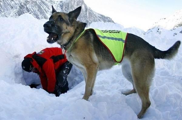 Собака-спасатель-История-особенности-породы-и-дрессировка-собак-спасателей-9