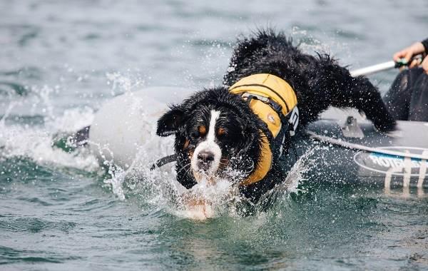 Собака-спасатель-История-особенности-породы-и-дрессировка-собак-спасателей-1