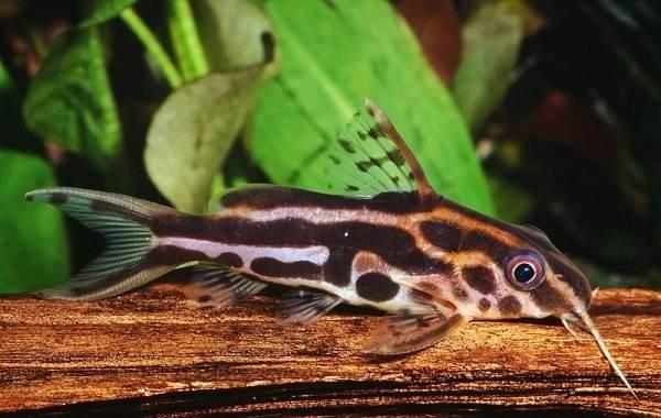 Сом-аквариумный-Описание-особенности-виды-уход-содержание-и-совместимость-сома-11