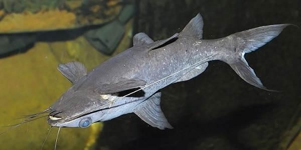 Сом-аквариумный-Описание-особенности-виды-уход-содержание-и-совместимость-сома-12