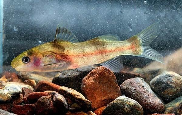 Сом-аквариумный-Описание-особенности-виды-уход-содержание-и-совместимость-сома-16