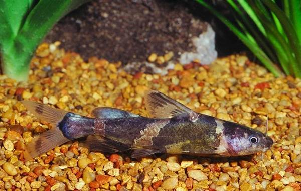 Сом-аквариумный-Описание-особенности-виды-уход-содержание-и-совместимость-сома-18