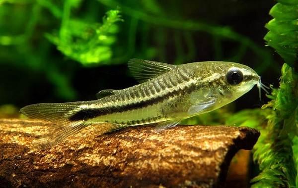 Сом-аквариумный-Описание-особенности-виды-уход-содержание-и-совместимость-сома-19