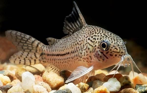 Сом-аквариумный-Описание-особенности-виды-уход-содержание-и-совместимость-сома-20
