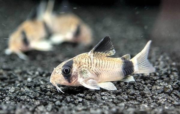 Сом-аквариумный-Описание-особенности-виды-уход-содержание-и-совместимость-сома-21