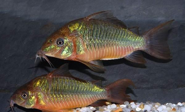 Сом-аквариумный-Описание-особенности-виды-уход-содержание-и-совместимость-сома-22