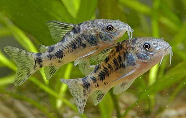 Сом-аквариумный-Описание-особенности-виды-уход-содержание-и-совместимость-сома-23