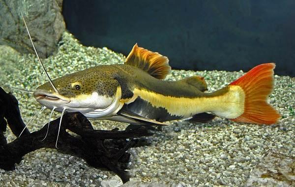 Сом-аквариумный-Описание-особенности-виды-уход-содержание-и-совместимость-сома-25