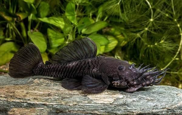 Сом-аквариумный-Описание-особенности-виды-уход-содержание-и-совместимость-сома-28