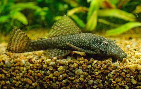 Сом-аквариумный-Описание-особенности-виды-уход-содержание-и-совместимость-сома-29
