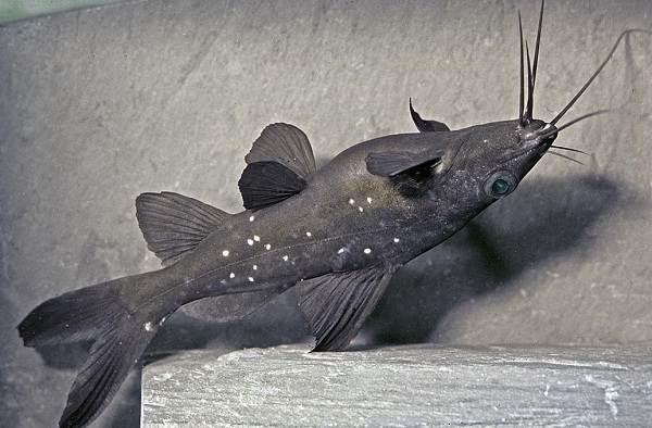 Сом-аквариумный-Описание-особенности-виды-уход-содержание-и-совместимость-сома-3