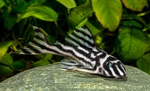 Сом-аквариумный-Описание-особенности-виды-уход-содержание-и-совместимость-сома-31