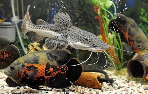 Сом-аквариумный-Описание-особенности-виды-уход-содержание-и-совместимость-сома-35