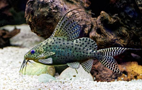 Сом-аквариумный-Описание-особенности-виды-уход-содержание-и-совместимость-сома-4