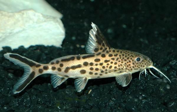 Сом-аквариумный-Описание-особенности-виды-уход-содержание-и-совместимость-сома-5