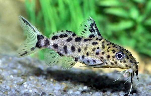 Сом-аквариумный-Описание-особенности-виды-уход-содержание-и-совместимость-сома-7